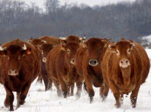 Čime hraniti krave u zimskom periodu (2)