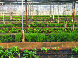 Kako uzgajati špinat u plastenicima (1)